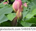 千葉公園的桃紅色五顏六色的芽 54609720