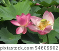 Ogajas桃红色花在千叶公园的 54609902