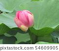 千葉公園的桃紅色五顏六色的芽 54609905