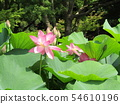 Ogajas桃紅色花在千葉公園的 54610196