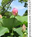 Ogajas桃紅色花在千葉公園的 54610197