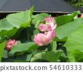 Ogajas桃紅色花在千葉公園的 54610333