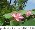 Ogajas桃紅色花在千葉公園的 54610334