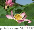 Ogajas桃紅色花在千葉公園的 54610337
