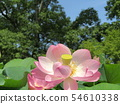 Ogajas桃紅色花在千葉公園的 54610338