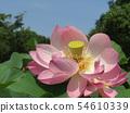 Ogajas桃紅色花在千葉公園的 54610339