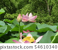 Ogajas桃紅色花在千葉公園的 54610340