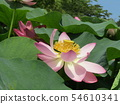 Ogajas桃紅色花在千葉公園的 54610341