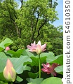 Ogajas桃紅色花在千葉公園的 54610350