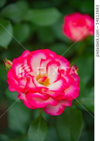 핑크 장미 아름다운 장미, 예쁜 장미 화려한 장미, 봄 꽃, 정원, 장미 꽃, 장미, 54613663
