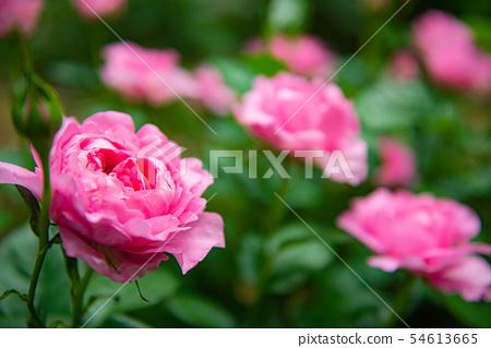 Pink rose Beautiful roses, beautiful roses, gorgeous roses, spring flowers, gardens, rose flowers, roses, 54613665