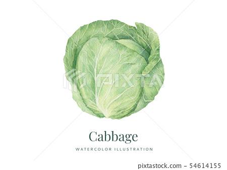 Handdrawn watercolor Cabbage 54614155