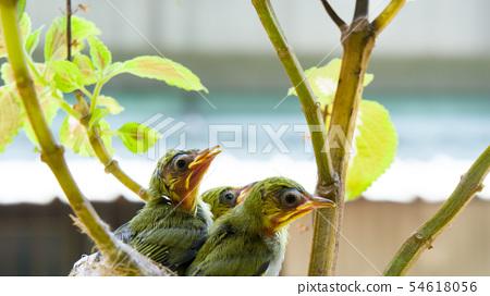 在鳥巢裡的三隻綠繡眼幼鳥 54618056