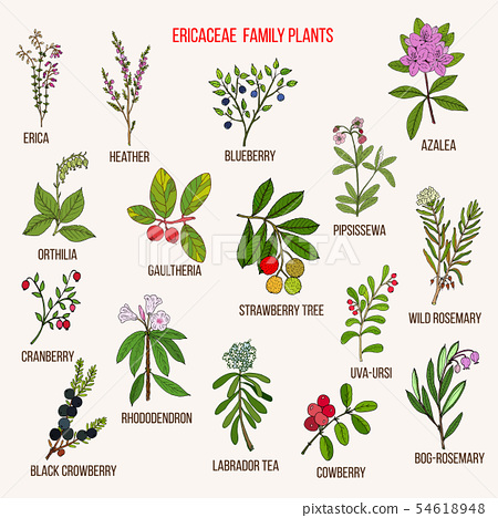 Ericaceae or heather family of flowering plants 54618948