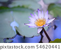 Water lily 54620441