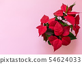 The poinsettia on pink background 54624033