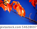 Autumn leaves of cherry blossoms that shine in the blue sky 54628697