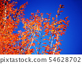 Autumn leaves of Saranoki that shines in the blue sky 54628702