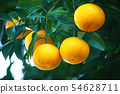 Summer oranges at the time of eating 54628711