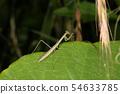 포식 중 사마귀 애벌레 6 월의 곤충 54633785
