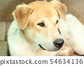 Close Up Head Snout Of Beautiful Young Thai Dog 54634136