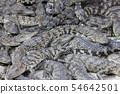 Many small crocodiles 54642501