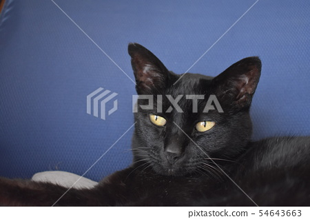 Picture of leisurely black cat 54643663