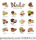Nuts nutshell of hazelnut almond and walnut nutrition illustration set cashew peanut and chestnut 54664114
