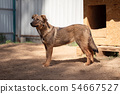 Image side of ginger dog near wooden booth in yard on summer 54667527