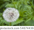 Withered dandelion with seeds, blowball on green bokeh background. taraxacum officinale, spring 54674436