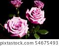 Lilac rose on black background 54675493