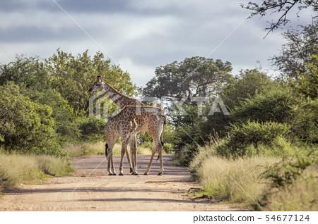 Giraffe in Kruger National park, South Africa 54677124