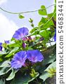 나팔꽃의 꽃 54683441