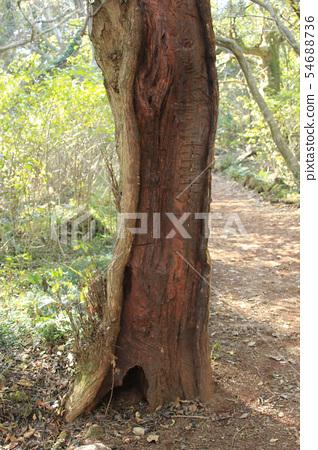 비자림,숲속,산책길,피톤치드, 54688736