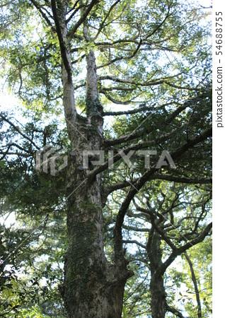 비자림,숲속,산책길,피톤치드, 54688755