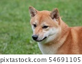 Cute red shiba inu is standing on a green meadow. 54691105