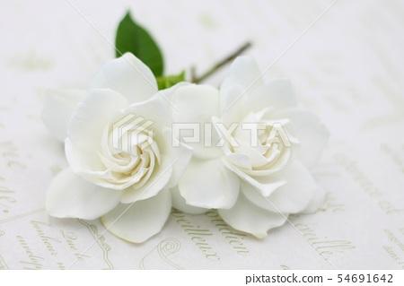 Gardenia 54691642