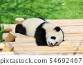 和歌山縣小熊貓 54692467