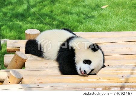 Wakayama Prefecture baby panda 54692467