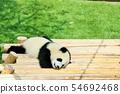 ลูกหมีแพนด้าจังหวัดวะกะยะมะ 54692468