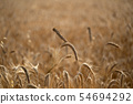 mature grain wheat field ready to harvest 54694292