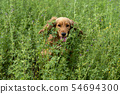 happy puppy dog cocker spaniel in the green grass 54694300