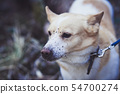 Corgi dog in the forest 54700274