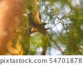 Red squirell (Sciurus vulgaris) on a green tree 54701878