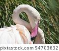 Beautiful Close up Portrait of a Pink Flamingo The greater flamingo Phoenicopterus roseus, focus on 54703632
