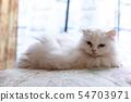 高級貓 54703971