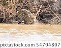 Jaguar from Pantanal, Brazil 54704807