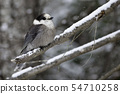 Gray Jay, Perisoreus canadensis, in winter 54710258
