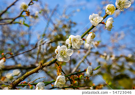 대만 Chiayi Meiling Plum Blossom 아시아 대만 Chiayi Plum 54723046