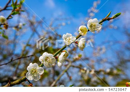 대만 Chiayi Meiling Plum Blossom 아시아 대만 Chiayi Plum 54723047